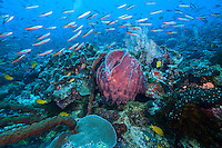A huge school of Fusiliers swarm a healthy coral reef<br /> <br /> Shot in Indonesia