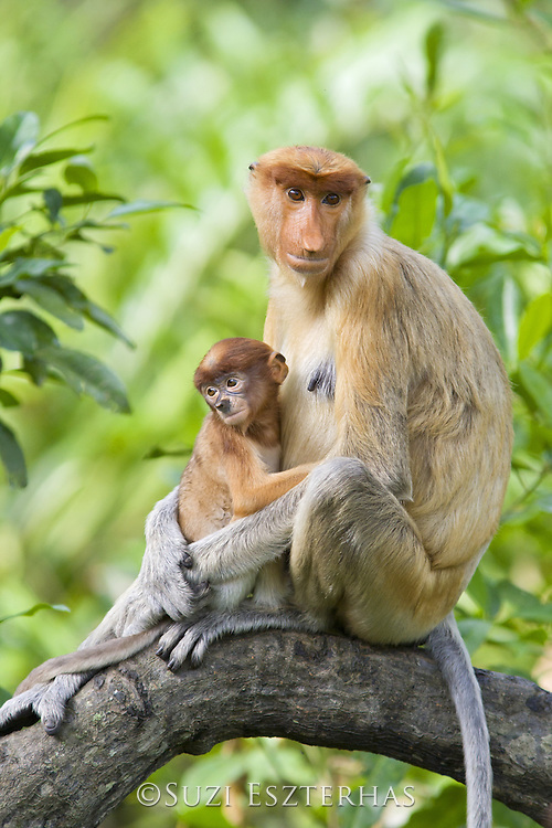 Proboscis Monkey<br /> Nasalis larvatus<br /> Mother and 2 month old baby<br /> Sabah, Malaysia