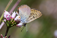 Lycaena n. nivalis - Lilac-bordered Copper