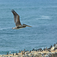A pelican returns to it's rookery on the rocks below the Yaquina Head Lighthouse on the Oregon Coast.