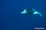 orca, or killer whale, Orcinus orca, underwater, King Bank, New Zealand ( South Pacific Ocean )