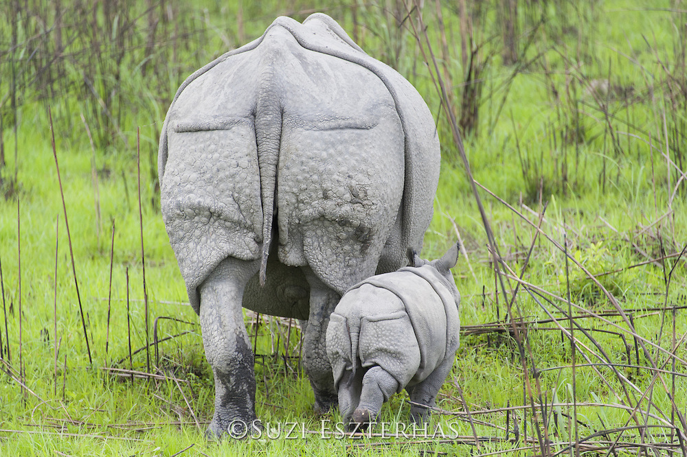 Indian rhinoceros  <br /> Rhinoceros unicornis<br /> Mother and 1-2 week old calf<br /> Kaziranga National Park, India