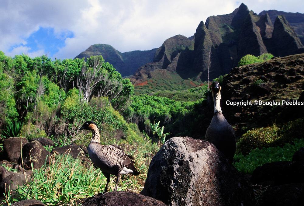 Nene Goose, Kalalau, Napali Coast, Kauai, Hawaii