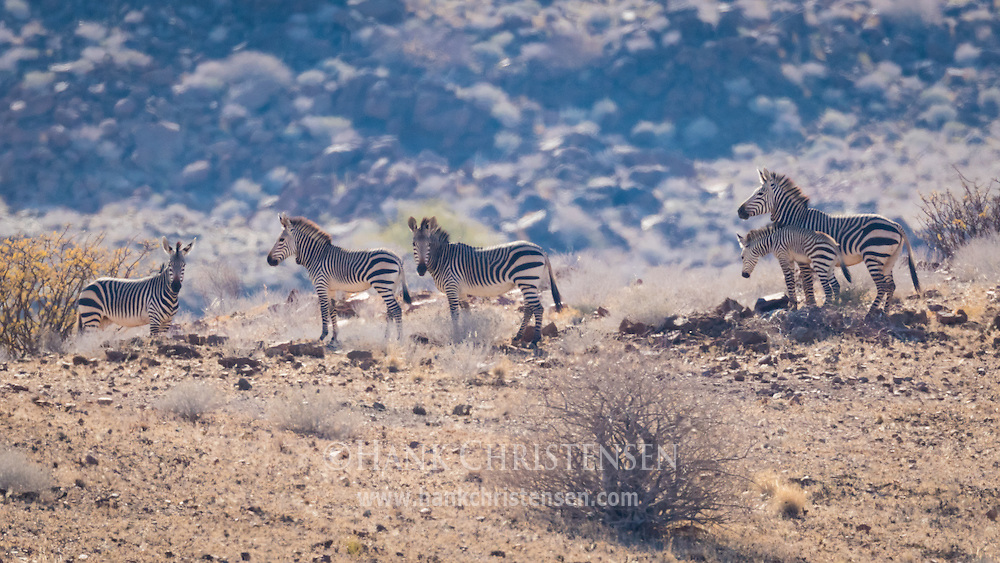 A family of threatened mountain zebra moves across the arid landscape of Damaraland, Twyfelfontein, Namibia.