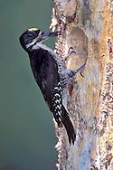 Adult male<br /> Sierra Co., CA<br /> June 1999