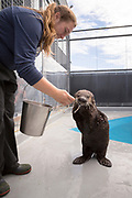 Mammalogist Margaret Black is feeding the sea otter named Bishop. On New Year's Day the Alaska SeaLife Center's Wildlife Response Team rescued a otter pup on Bishop&rsquo;s Beach, in Homer. He was in a bad shape at the time and is now recovered and grown up. <br /> <br /> Seward, Alaska, USA<br /> <br /> Photographer: Christina Sjogren<br /> <br /> Copyright 2018, All Rights Reserved