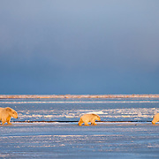 A polar bear mom with two cubs in Kaktovik, Alaska