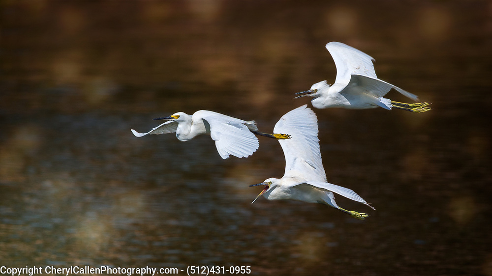 3 Snowy Egret's in flight training