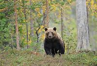 Eurasian brown bear, Ursus arctos in Kuhmo, Finland.