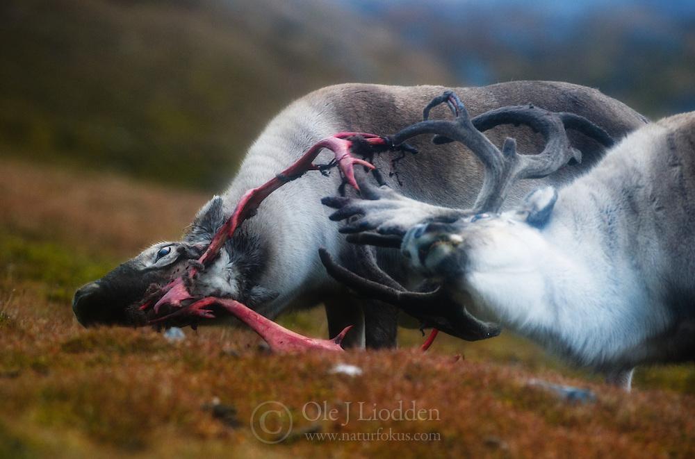 Svalbard Reindeer (Rangifer tarandus) in Spitsbergen