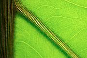 macro photogaphy,leaf