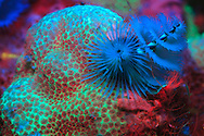 Flourescing Christmas tree worms and coral. Photographed using a Nightsea fluorescent filter kit which excites fluorescence: two blue Nightsea excitation filters, yellow barrier filter.  Science is still working to understand fluorescence underwater in sealife.  Even within the same animals, some sealife will fluoresce, while others will not. Bonaire