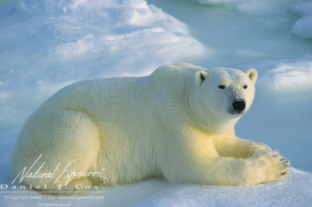 Polar Bear portrait of an adult resting. Hudson Bay, Canada