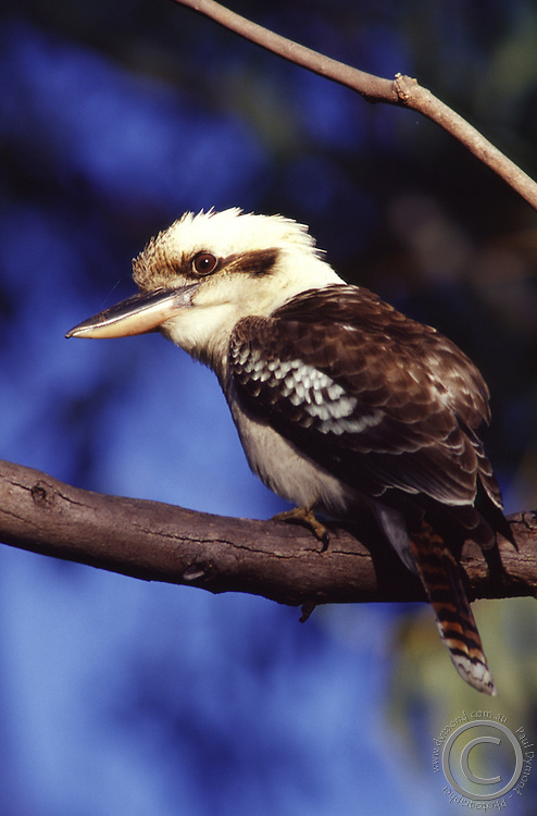 A Laughing Kookaburra smiles for the camera while perched in a tree at Undara National Park, Undara, far north Queensland, Australia.
