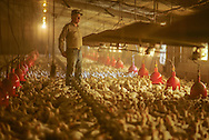 A Virginia chicken farmer checks on the health of his flock at a farm in Suffolk.