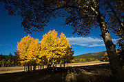 BEST1 A group of Aspen trees are seen near Caribou Ranch along Peak to Peak Highway west of Longmont.<br /> Matthew Jonas / Staff Photographer Sept. 27, 2015