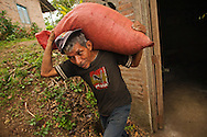 Worker on a Nicaraguan coffee cooperative carries newly harvested coffee beans to be dried.