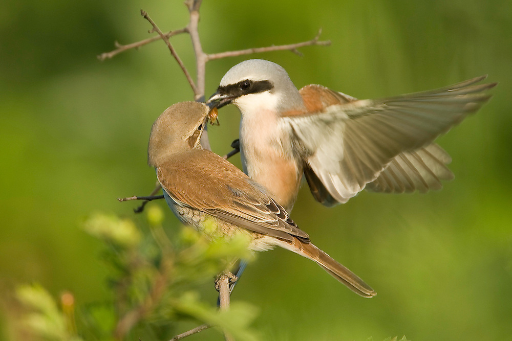 The Red-backed Shrike courtship feeding, male and female, Lanius collurio, Neuntoeter Maennchen und Weibchen, near Nikopol, Bulgaria