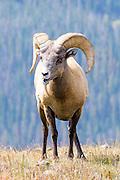 Bighorn Sheep Ram, Rocky Mountain National Park