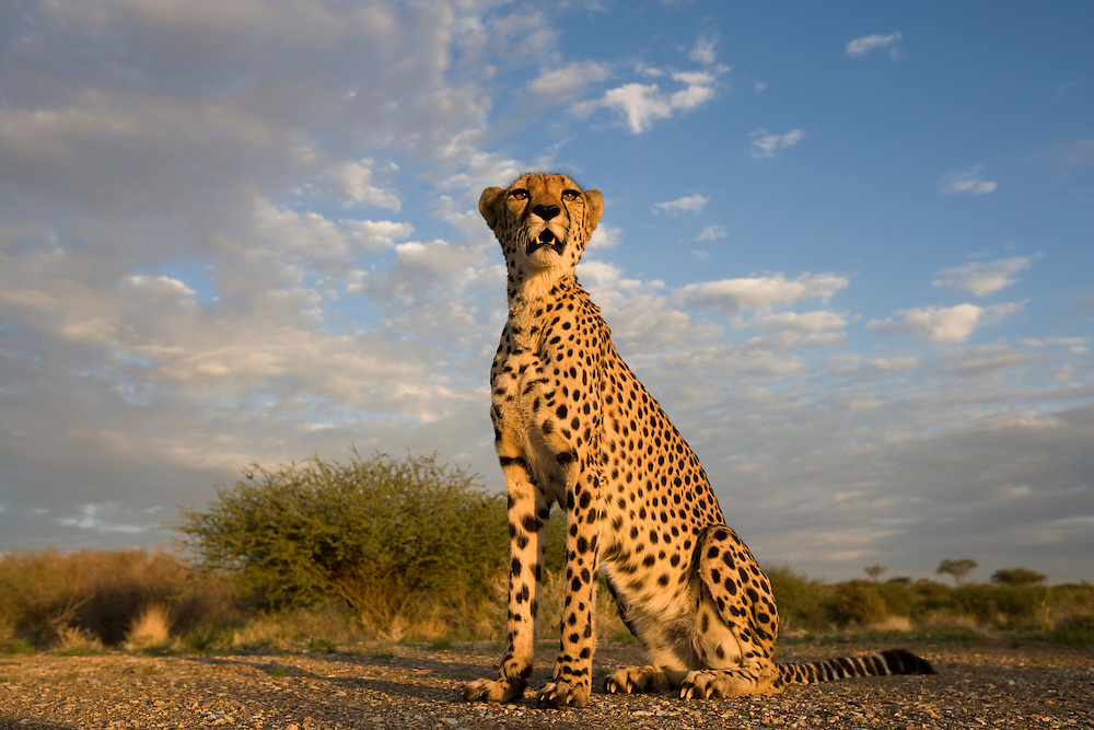 Africa, Namibia, Keetmanshoop,  Captive Cheetah  (Acinonyx jubatas) sitting on hilltop at sunset