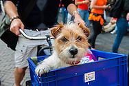 Netherlands, Utrecht, 23  juni 2014<br /> Hond in kratje voor op de fiets.<br /> Foto: (c)Michiel Wijnbergh