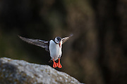 Puffin in for landing, Lundeura, Runde, Norway | Lundefugl inn for landing i Lundeura på Runde