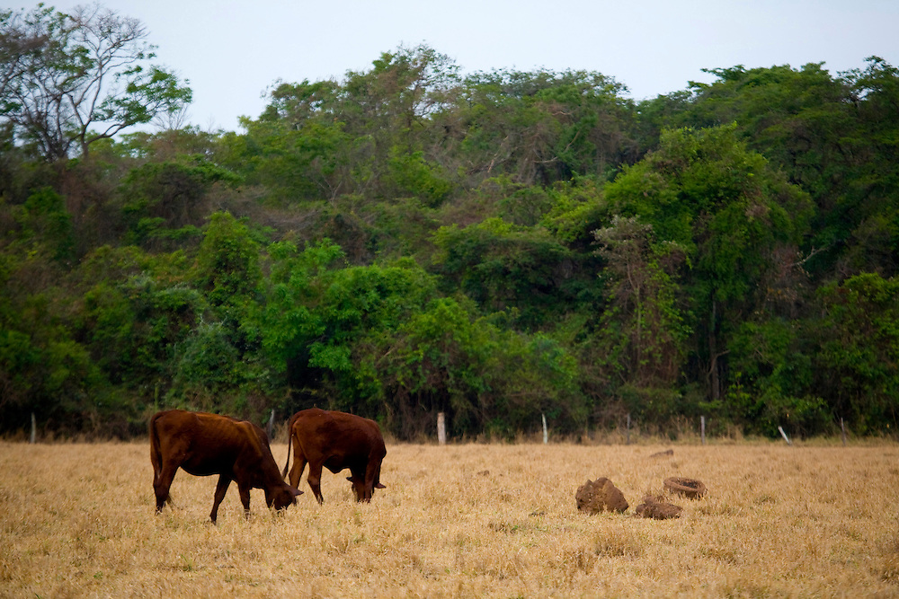 Sao Jose do Rio Preto_SP, Brasil...Programa Biota da Unesp, na foto pastagem de gado...The Biota program of Unesp, in this photo the cattle grazing.. .Foto: JOAO MARCOS ROSA /  NITRO