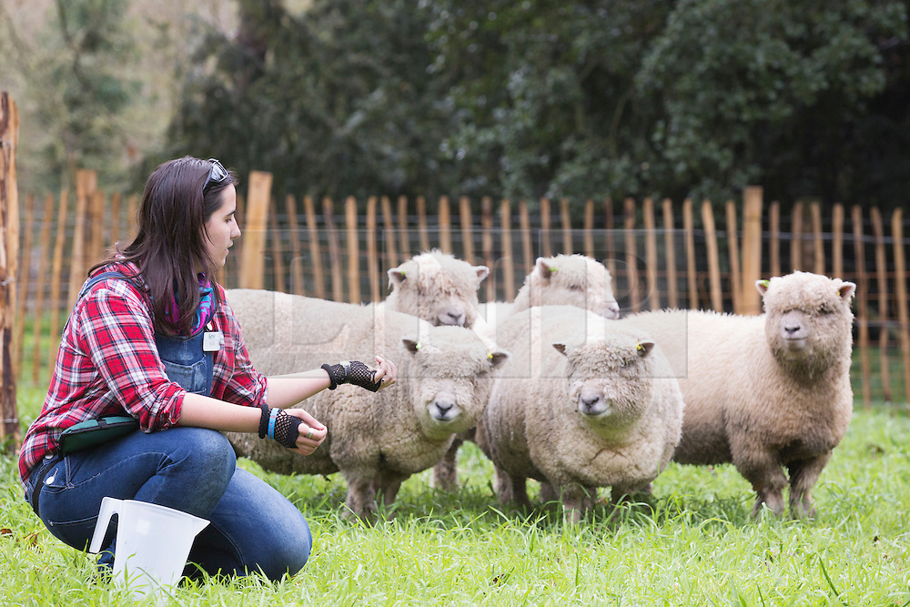 """© Licensed to London News Pictures. 26/03/2015. London, England. Pictured: Shepherdess Ellie Burch, 22, from Croydon with a flock of five Southdown ewes from Wakehurst Place.  Kew Gardens' Easter Festival """"Shaun the Sheep"""" opens at Kew Gardens on 28 March and runs to 12 April 2015.  Photo credit: Bettina Strenske/LNP"""