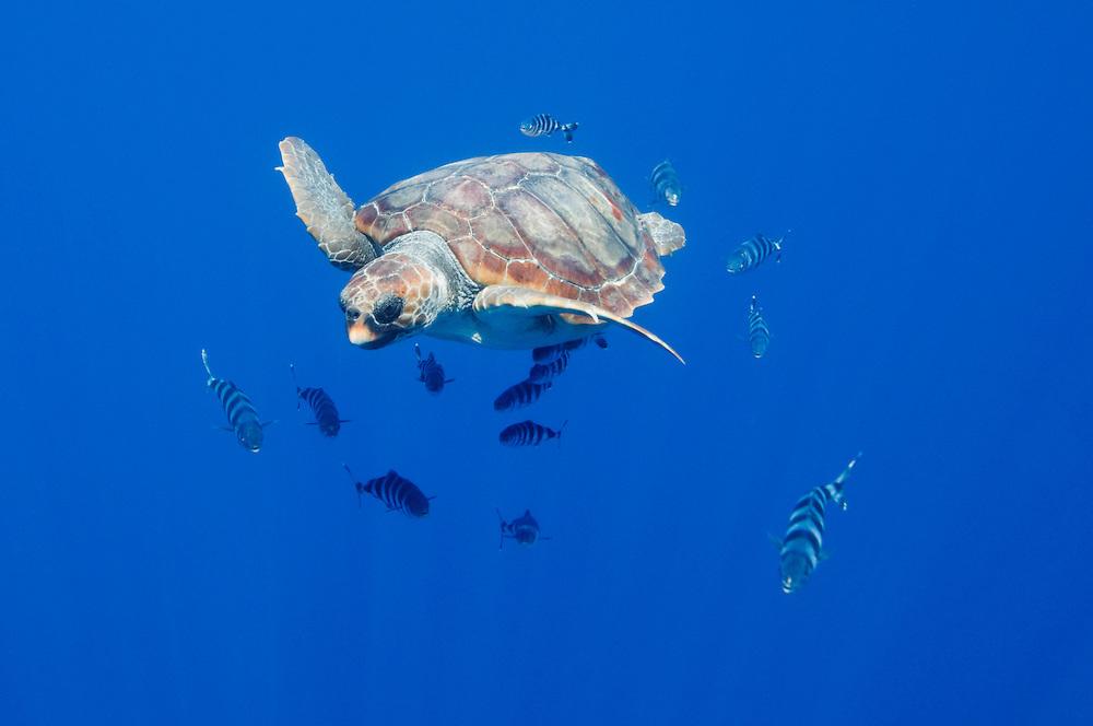 Loggerhead turtle, Caretta caretta, with a school of pilot fishes, Naucrates ductor.Pico, Azores, Portugal