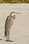 Great Blue Heron, Santa Cruz island, Galapagos archipelago, Ecuador, South America
