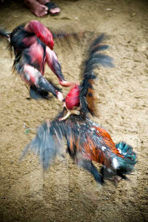 Strong rooster fight.  Khanh Hoa area, Vietnam, Asia