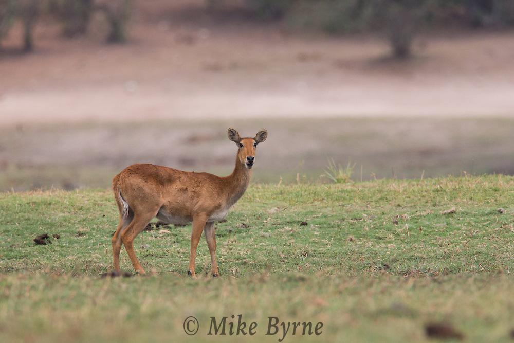 Puku in Chobe National Park.