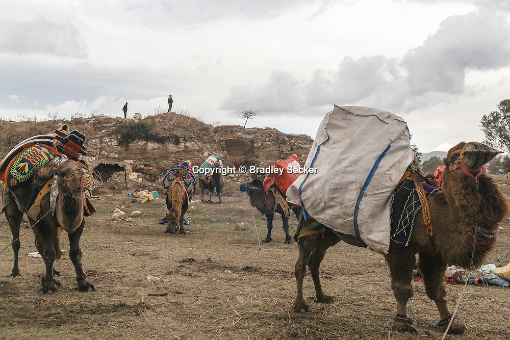 TURKEY, Izmir, Selçuk. Camels wait to wrestle outside the stadium on the outskirts of Selcuk, Izmir, Turkey. The 35th annual Camel Wrestling Festival took place despite the threat of rain. Camel owners and trainers bring their animals from all over the western part of Turkey to compete.