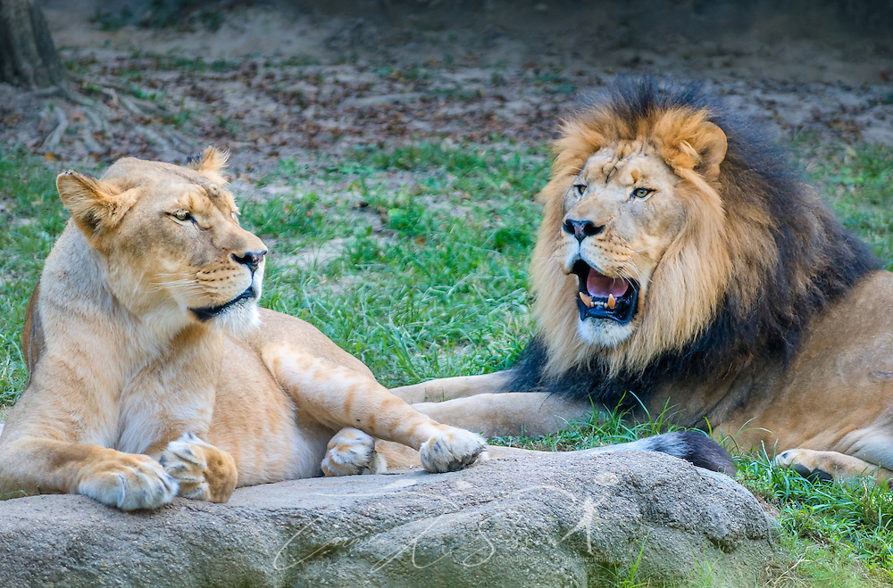 A lioness lays beside Thabo, an African lion (Panthera Leo), at the Memphis Zoo, September 8, 2015, in Memphis, Tennessee. The zoo features more than 3,500 animals representing more than 500 species; it is one of only four zoos in the nation to feature a panda exhibit. (Photo by Carmen K. Sisson/Cloudybright)
