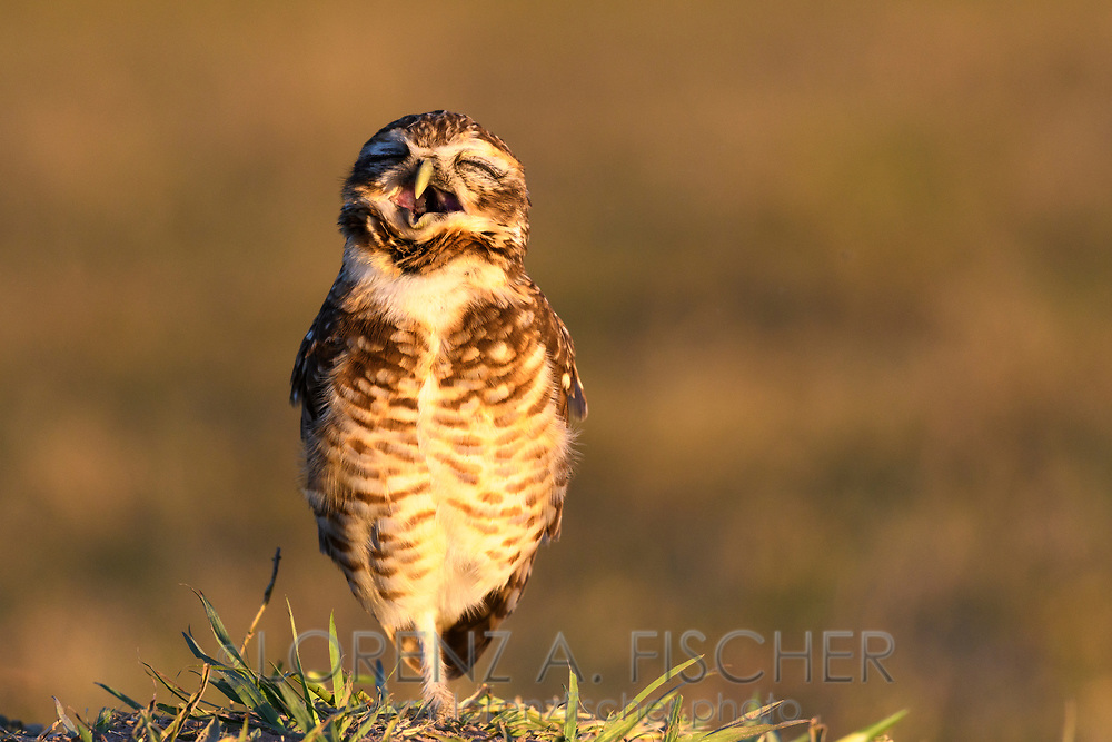 A burrowing owl (Athene cunicularia) at the burrow, Pantanal, Mato Grosso do Sul, Brazil