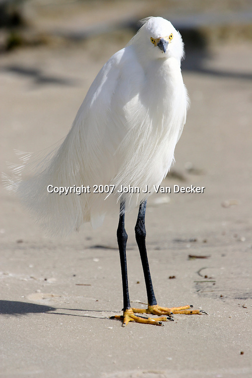 Snowy Egret in breeding plumage front side view