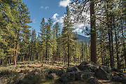 Forest habitat consisting mostly of ponderosa pine (Pinus ponderosa) in the Deschutes National Forest, Oregon. Black Butte is visible in the background.