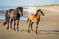 Wild stallion and colt on the beach at Crolla Outer Banks NC.