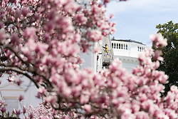 March 27, 2019 - Washington, District of Columbia, U.S. - A workman framed in Magnolia blooms performs maintenance work Wednesday, March 27, 2019, on an upper window of the second level of White House. (Credit Image: ? White House/ZUMA Wire/ZUMAPRESS.com)