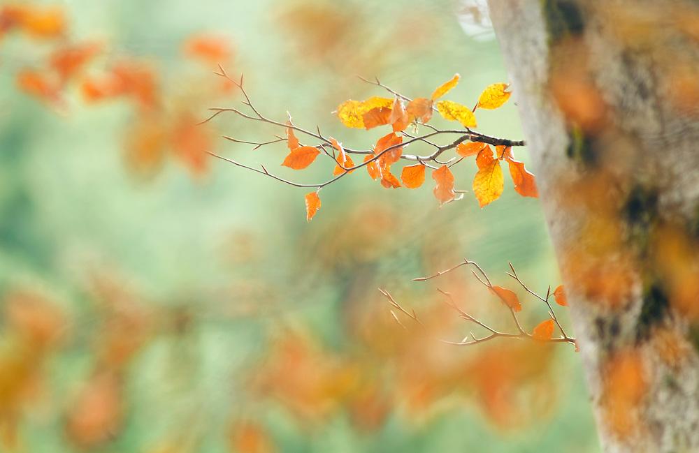 Autumn leaves, PNR Livradois-Forez, Auvergne, France