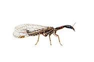 Snakefly (Agulla bicolor) - male<br /> TEXAS: Travis Co.<br /> Brackenridge Field Laboratory<br /> Austin<br /> 2-April-2012<br /> J.C. Abbott &amp; K.K. Abbott
