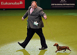 © Licensed to London News Pictures. 11/03/2012.Minature Daschund Captain Scarlet and his owner Mt J Hunt go for a walk around the ring before picking up fourth in the Best of Breed in the Hound Group of the Crufts final at the Birmingham NEC Arena.   Photo credit: Alison Baskerville/LNP