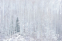 Aspen Trees in Winter Snowstorm, White River National Forest, Colorado