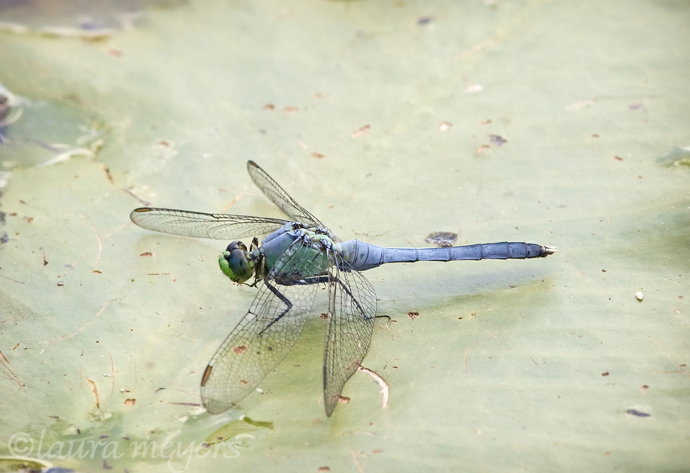 East Pondhawk Dragonfly on lilypad photographed in Manchester, Vermont.