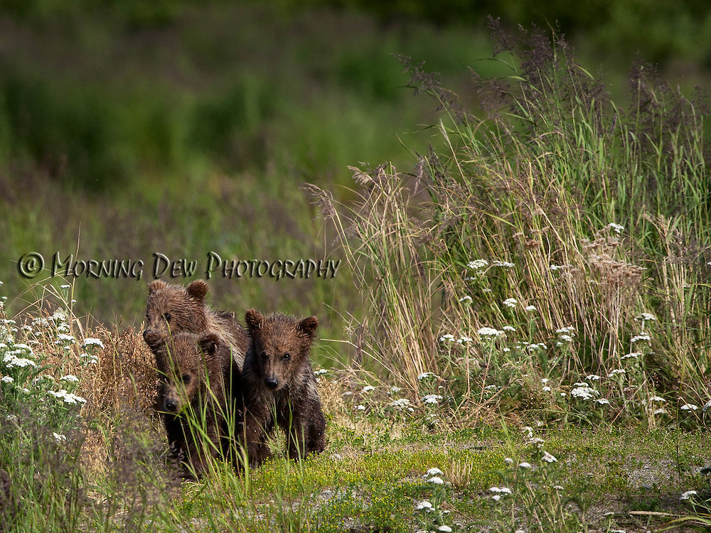 Three spring cubs wait for their mother as she fishes in Brooks River, Katamai National Park, Alaska