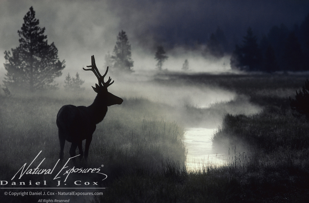 Elk (Cervus canadensis). A lone bull with antlers in velvet near a stream in a meadow on a misty brisk morning.
