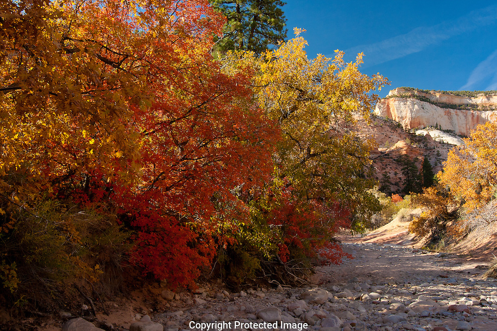 Maple,oak,and cottonwood trees displaying fall colors as winter draws near.