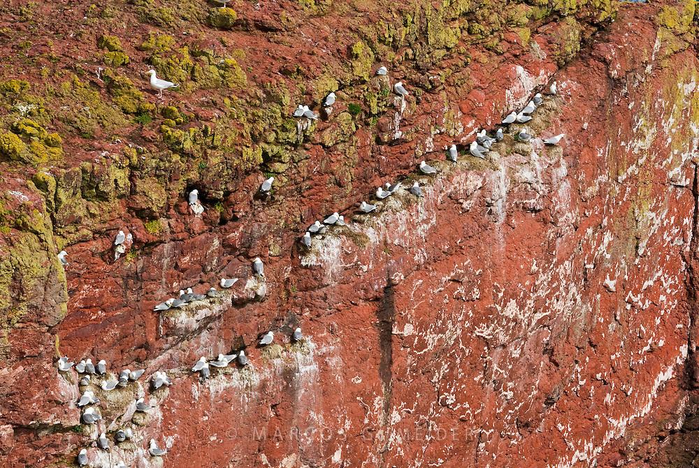 <b>Kittiwake (Rissa tridactyla). Nesting colony on cliff.  St. Abbs Head, Scotland, UK.</b>