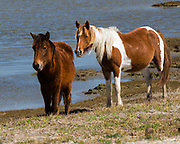 Two Chincoteague Ponies in  Chincoteague National Wildlife Refuge