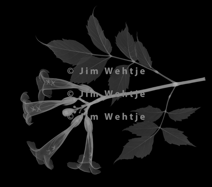 X-ray image of a trumpet vine branch (Campsis radicans, white on black) by Jim Wehtje, specialist in x-ray art and design images.